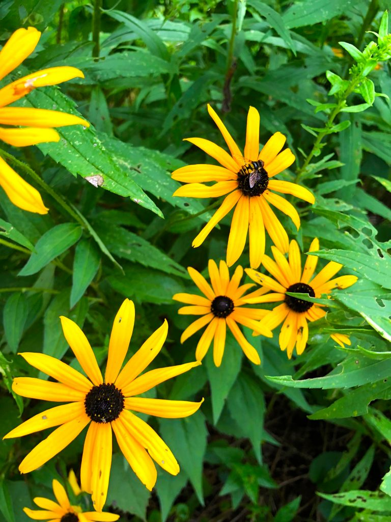 Wilson Advertising volunteer black eyed susan bee